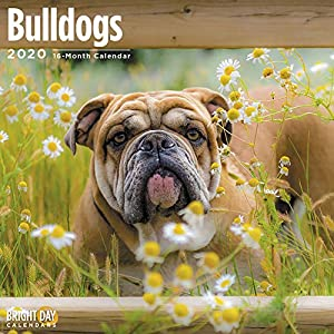 2020 Bulldogs Wall Calendar by Bright Day, 16 Month 12 x 12 Inch, Cute Dogs Puppy Animals English British 6