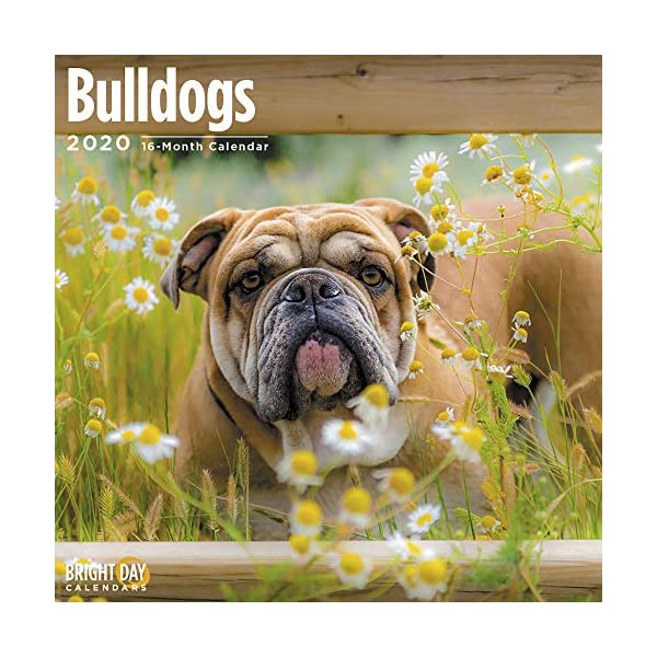 2020 Bulldogs Wall Calendar by Bright Day, 16 Month 12 x 12 Inch, Cute Dogs Puppy Animals English British 1