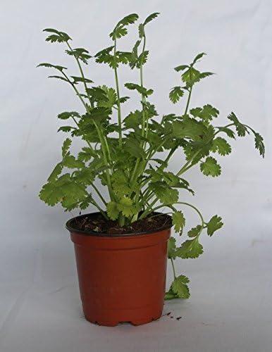 Cilantro (Maceta 10, 5 cm Ø) - Planta viva - Planta aromatica ...
