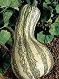 Fresh Heirloom Cushaw Green Striped Pumpkin Winter Squash - 35 Seeds - HIGH Yields - Large
