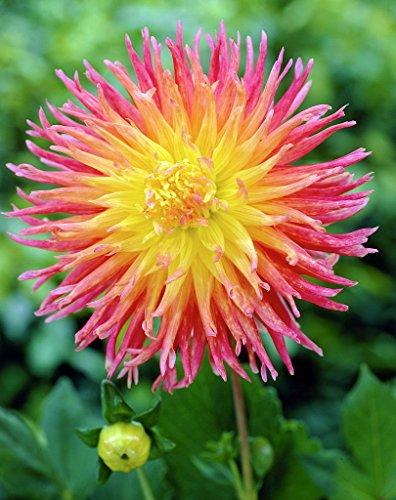 Fringed Star Semi-Cactus Dahlia 2 Root Clumps - #1 (Dahlia Stars)