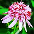 Playful Joy Coneflower Flower Seed Pack with Planting Instructions Echinacea Seeds