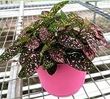 Jmbamboo - Fairy Garden Hypoestes Phyllostachya, Confetti, Polka Dot Plant