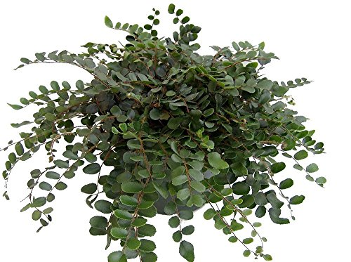 "Hirt's Button Fern - Pellaea rotundifolia - Unusual, Easy to Grow - 4"" Pot"