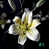 Goodfans Home Garden Balcony Perfume Lily with Buds Green Plants Potted Flower Seeds Flowers