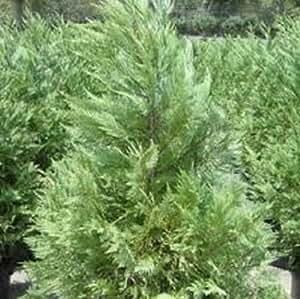 "Leyland Cypress, Ten one-Gallon Evergreen Plant - 16-24"""