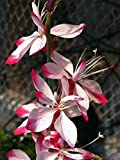 Little Janie Whirling Butterflies Perennial - Gaura - Quart Pot - Live Plant