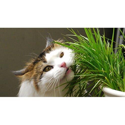 Cheap Cat grass oat (100 seeds) Cat Dog Bird digest aid health supplier