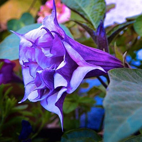 Fiori Color Viola.Colore Viola Datura Semi Di Fiori Nana Brugmansia Suaveolens
