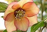 Winter Jewels Apricot Blush Lenten/Christmas Rose - Helleborus - SHADE-Gallon Pot