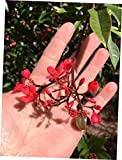 """CLORA Plant Small Plant 6"""" Tall Pot 3"""" Jatropha integerrima, Peregrina - Spice Compact - EB304"""