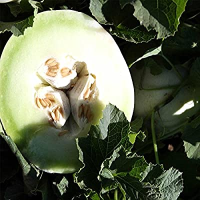 Honeydew Melon Garden Seeds - Green Flesh - Non-GMO, Heirloom Vegetable Gardening Seed - Honey Dew Fruit