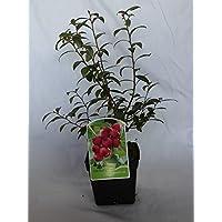Arandano rojo (maceta 2 litros) - Arbusto frutal