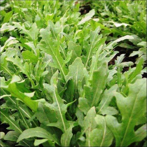 (Rocket Salad Leaves Seeds (avg 30-50) Seeds 9)