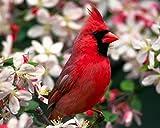 cardinal bird pictures - Red Cardinal - BIRD 8 x 10 * 8x10 Photo Picture *SHIPS FROM USA*