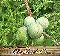 (10) Bald Cypress NORTHERN, Taxodium distichum Northern, Tree Seeds