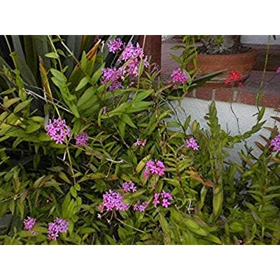 AchmadAnam - Live Plant - Epidendrum Hybrid Lavender Pink - 1 Plant - 1 Feet Tall - Ship in 1 Gal Pot. E9 : Garden & Outdoor