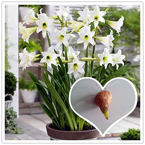 (Flowers Bulbs Flower Bulbs Amaryllis True White Hippeastrum Rutilum Bulbs,(Bonsai),Amaryllis Flowers Symbolizes Love, Flower Plant -2 Bulbs)