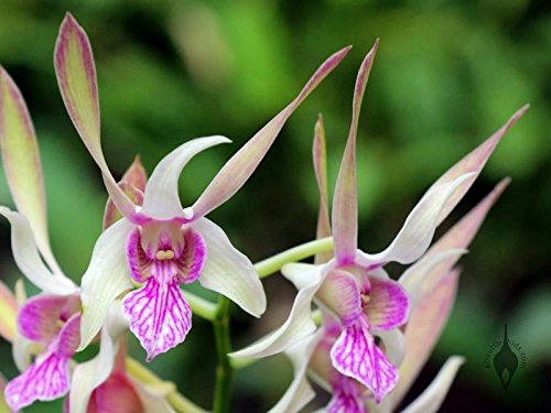 4 Live Orchid Plants to Choose (Dendrobiums) by Angel's Special (Image #4)