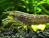 2 LARGE Freshwater Bamboo Shrimp/Singapore Flower Shrimp (Atyopsis moluccensis) - 2+ inch Young Adults by Aquatic Arts