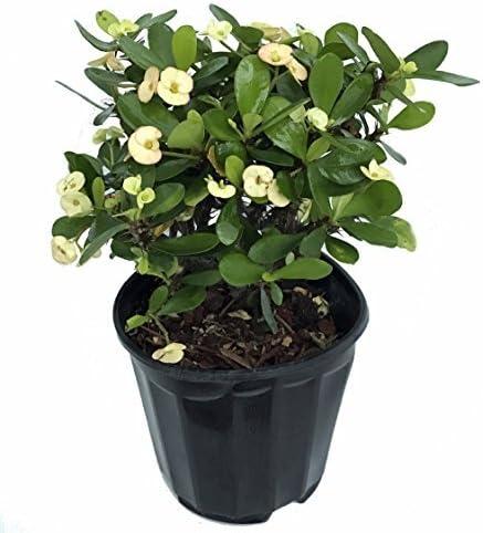 Amazon Com White Blush Crown Of Thorns Rare Euphorbia 6
