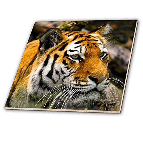 3dRose Sven Herkenrath Animal - Close Up View of Wild Tiger Asia Animal Wildlife - 8 Inch Glass Tile (ct_294225_7) ()