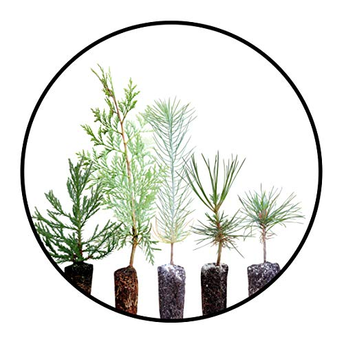 - Conifers of The Sierra Nevada | Collection of 5 Live Tree Seedlings | The Jonsteen Company