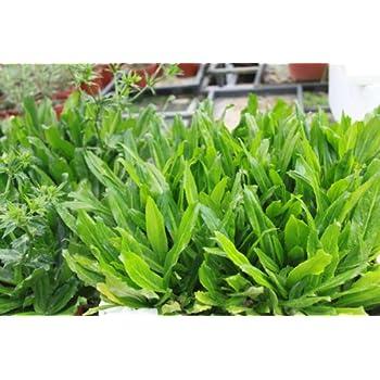 Recao, Culantro, Cilantro ancho, Mexican coriander (Eryngium foetidum) Herb. 200+ Qty Seeds Pack by Culantro (Ngo Gai)