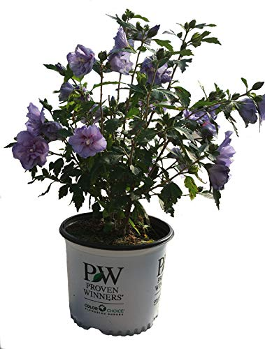 Proven Winners Blue Chiffon Rose of Sharon - Hibiscus S. Blue Chiffon - 3 Gallon (Blue Rose Of Sharon)