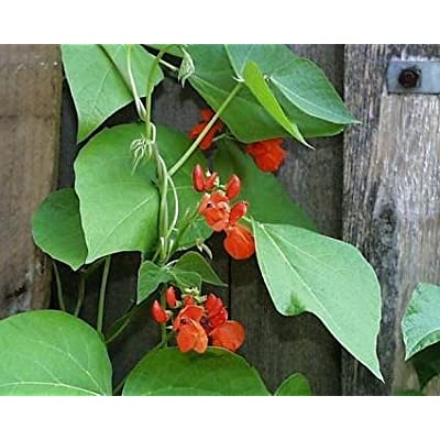 Scarlet Emperor Runner Bean Seeds : Vegetable Plants : Garden & Outdoor