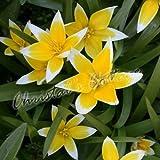 20 TULIPA TARDA AUTUMN GARDENING SPRING YELLOW FLOWER TULIP BULB CORM PERENNIALS