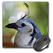 """3dRose Costa Rica, Guanacaste, White-Throated Magpie Jay Bird - Mouse Pad, 8 by 8"""" (mp_87246_1)"""