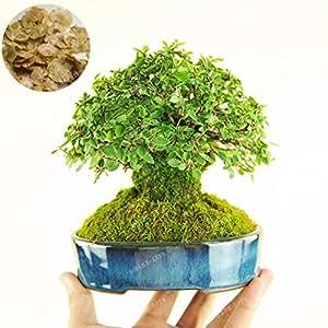 30 Pcs/Bag Mini Ulmus Pumila Seed Chinese Elm Bonsai Tree Seeds Woody Perennial Garden Tree Seeds DIY Home Garden Potted Plant