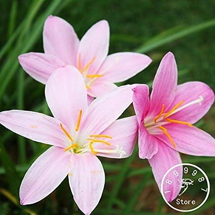 Amazon hot salepink daffodils seeds beautiful daffodil flower pink daffodils seeds beautiful daffodil flower seeds clean air narcissus seeds flowers for mightylinksfo