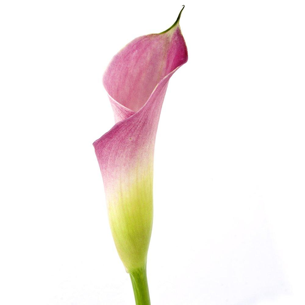 Wholesale Pink Mini Calla Lilies (60 Pink)