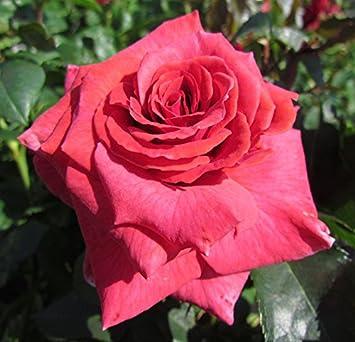 My sister 4lt potted floribunda garden rose bush exclusive my sister 4lt potted floribunda garden rose bush exclusive listing beautiful large clusters mightylinksfo