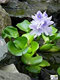 Water Hyacinth - Lot of 4 Live Floating Water Plants for Your Pond, Water Garden, or Aquarium | Provides Much Needed Shade and shelter for Your Pond and Fish | Natural Biofilters