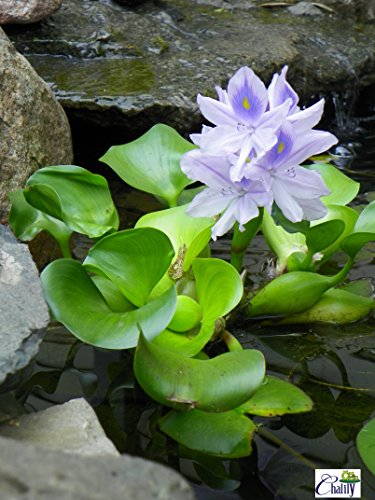 Water Hyacinth - Lot of 8 Live Floating Water Plants for Your Pond, Water Garden, or Aquarium | Provides Much Needed Shade and shelter for Your Pond and Fish | Natural Biofilters by Chalily