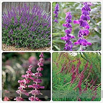 ADB Inc DD Imported Mexican Bush Sage Pink Salvia Leucantha Flower ()