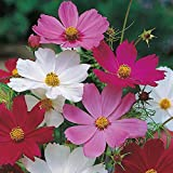 2000 Sensation Mix Cosmos Bipinnatus Seeds, by Seeds2Go