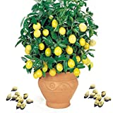 Best Garden Seeds Rare Lemon, 20 Seeds, balcony patio potted fruit trees planted seeds