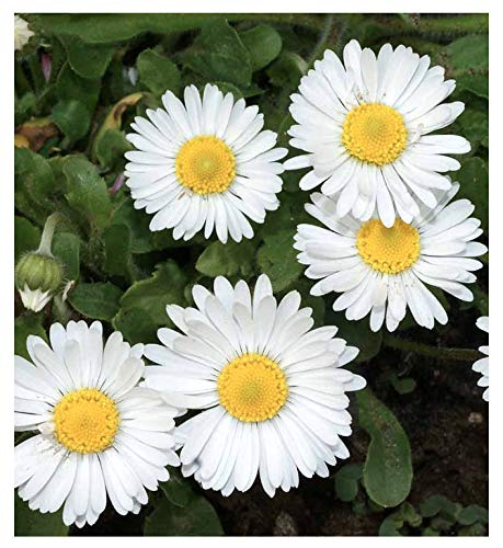(White English Lawn Daisy Mix, Lawns and Borders - 1000 Seeds - Bellis Perennis)