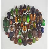 Real Beetles Mix Mounted Bug Insect Art Collection Assorted Taxidermy Entomology Display Boxed Collectible