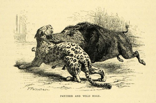 1878 Wood Engraving Panther Wild Boar Animal Leopard India Fight Hunting Art - Original Wood Engraving from PeriodPaper LLC-Collectible Original Print Archive