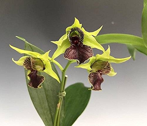 Orchid Dendrobium Little Green Apples .. Stock - Care Vanda Orchid