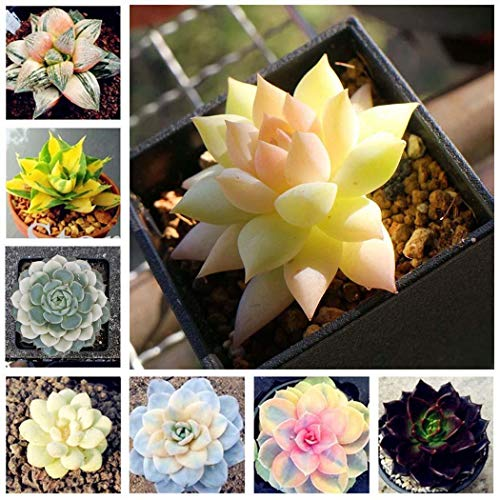 - Pagacat New 100 Pcs Nice Adorable Flower Fragrant Blooms Succulents Jeweled Flower Seeds Flowers