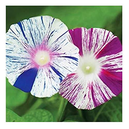 - Harlequin Morning Blooming Vine Seeds - Wonderful Climbing Heirloom Vine - Morning Glory Non GMO and Neonicotinoid Seed