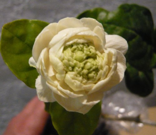 Arabian Jasmine Plant''Grand Duke of Tuscany'' - Fragrant Plant - 6'' Pot by Thai Greenhouse (Image #8)