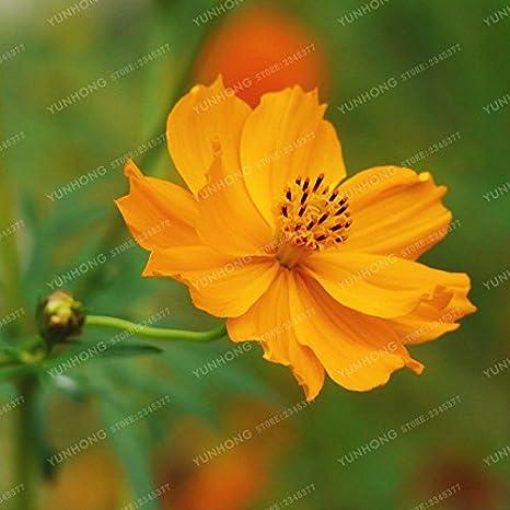 50 partículas / paquete Cosmos sulphureus Semillas Semillas hermosas perennes en maceta de flores para el jardín Bonsai Las plantas fáciles de cultivar 2: ...
