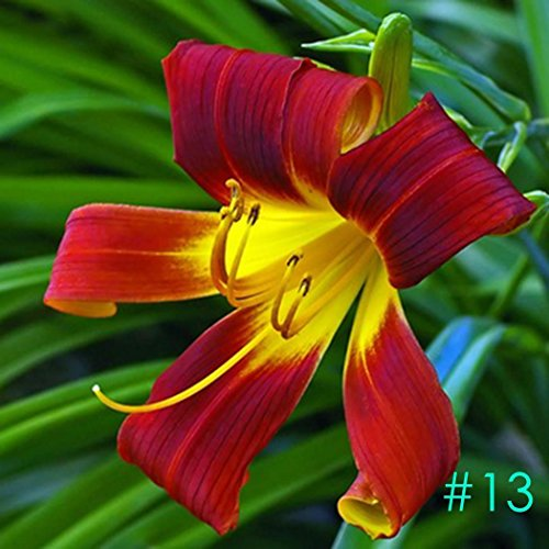 Lily Potted Peace (Elever 50pcs Perfume Lily Bulbs Seeds Rare Lilium Flower Seeds Bonsai Potted Plant Perennial Flowers Seeds)